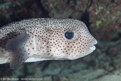 BD-130710-Maldives-0112-Diodon-hystrix.-Linnaeus.-1758-[Spot-fin-porcupinefish.-Igelkottfisk].jpg